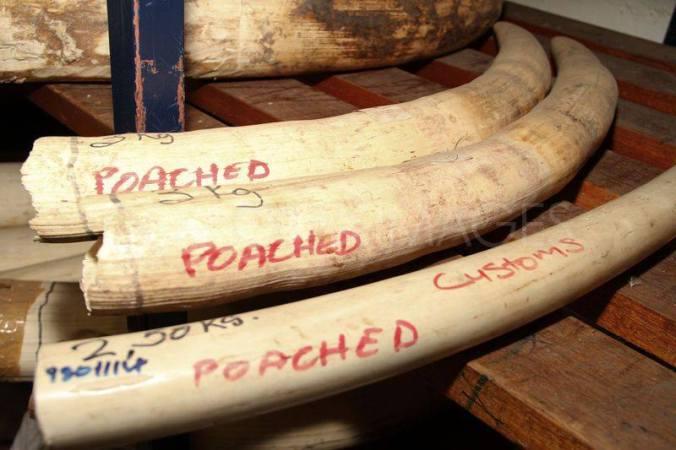 Seized Ivory from Zimbabwe.  7.5kilos/16.5lbs =$33K