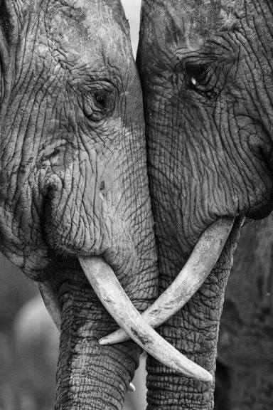 Ivory Free Connecticut